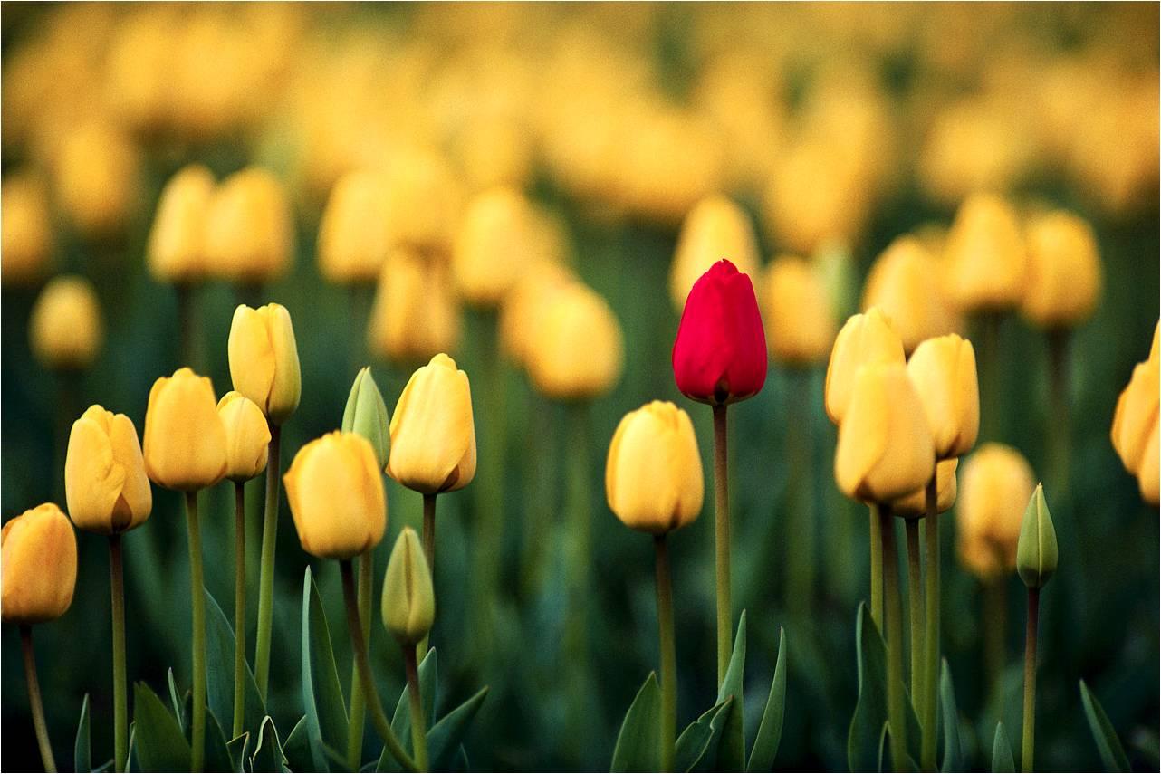 tulipa brand